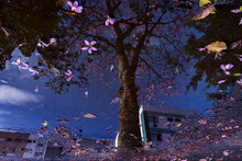 Autumn Landscape Reflected In The Water Mirror Of A Puddle On The Floor With Pink Flowers: Pink Trumpet Tree, The Blue Sky And Buildings.