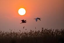 Grey Heron And Eurasian Spoonbill Flying Against The Sun