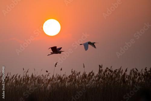 Obraz na plátně Grey heron and eurasian spoonbill flying against the sun
