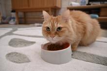 ご飯を食べる猫(マンチカン)