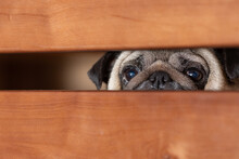 The Pug Looks Sadly Into The Gap Between The Boards. Quarantine Concept.
