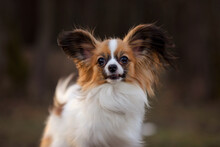 The Cute Dog With White Brown Hair Is In The Autumn In Park. Papillon Butterfly Dog. Papillion