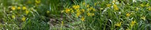 Photos With Yellow Wildflowers Of  Goose Onion Or Gagea Minima Or Bethlehem Star  On A Natural Background.