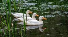 Three Ducks In A Row