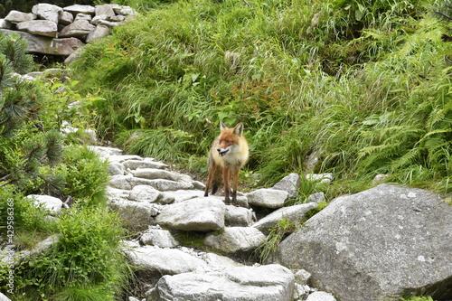 lisy w górach, zwierzęta w Tatrach, środowisko naturalne,