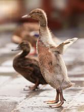 Cute Mallard Baby Duck Spreading Its Wings