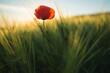 Single red poppy flower