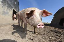 Porc Cochon Elevage Ferme Agriculture Ferme Wallonie Belgique