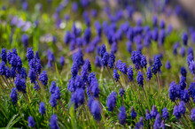 Muscari Armeniacum Cultivated Spring Grape Hyacinth Flowers In Bloom, Bunch Of Dark Blue Flowering Plants
