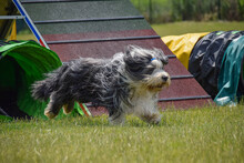 Bearded Collie Dog Is Running In Agility Tunnel. Amazing Day On Czech Agility Privat Training