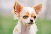 Chihuahua Portrait. White Long-haired Chihuahua Puppy Portrait.