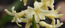 Oriental Hyacinth Flowers