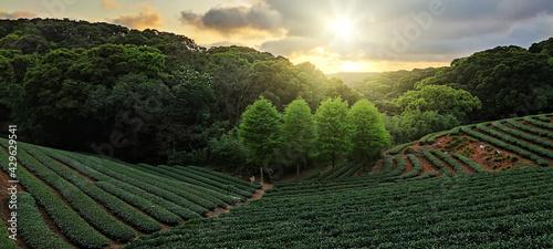 Obraz na plátně tea plantation landscape sunset, Taiwan