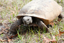 A Closeup Of A Gopher Tortoise,Gopherus Polyphemus, A Protected Threatened Species And The State Tortoise Of Florida