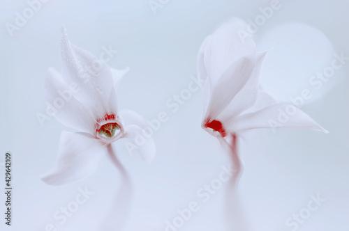 Fototapeta Cyklameny perskie  (Cyclamen persicum Mill.) obraz