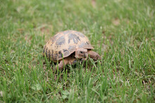 A Gopher Tortoise Walking In Green Grass