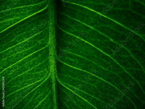 Zielony liść makro, tekstura liścia  - fototapety na wymiar