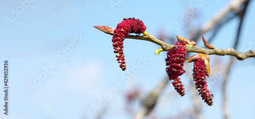 Obraz na plátně poplar bloom. flowering earrings on the branch. spring background