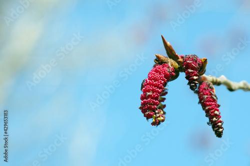 Fototapeta poplar bloom. flowering earrings on the branch. spring background