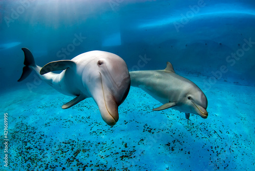 Two bottlenose dolphins swimming in a pool. Underwater shot Tapéta, Fotótapéta