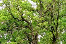 Green Crown Of A Large Strong Old Tree With Spreading Branches