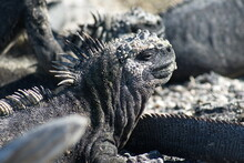 Close Up Of A Marine Iguana At Punta Espinoza, Fernandina Island, Galapagos, Ecuador