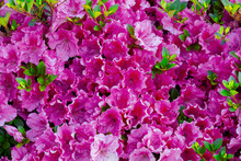 Bougainvillea Is A Genus Of Thorny Ornamental Vines, Bushes, And Trees