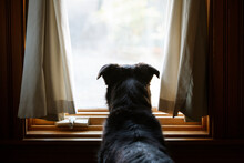 Rear View Of Mixed Breed Dog Looking Out Window