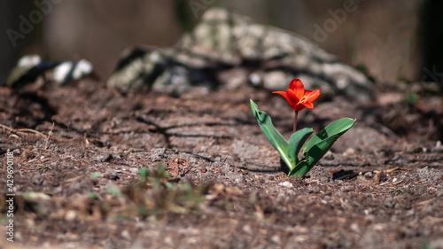 Obraz Samotny wiosenny kwiat czerwony tulipan kaufmanniana showwinner - fototapety do salonu