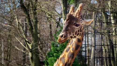 Głowa żyrafy - fototapety na wymiar