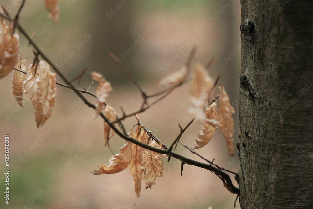 Suche, zeszłoroczne liście buka w obiektywie makro wiosną / Dry last year's beech leaves in a macro lens in spring