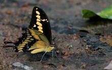 Mariposa Amarilla Negra