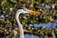 Cute Great Blue Heron Portrait Standing In The Swamp