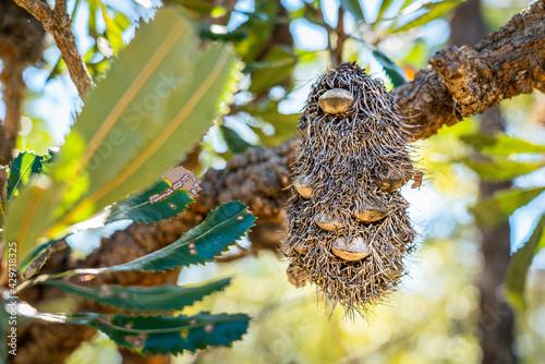 Fotografia, Obraz Banksia native Australian plant