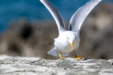 Beautiful Shot Of A Seagull Ready Fly With The Background Of A Blurry Seashore