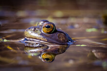 A Small Green Frog Sits In A Pond With Its Reflection