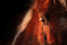 Close Up Of A Shetland Pony