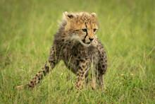 Cheetah Cub Sits Looking Down In Grass