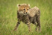 Cheetah Cub Stands Looking Down In Grass
