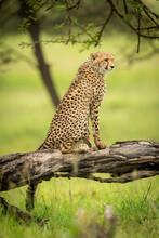 Cheetah Cub Sits On Log Looking Right