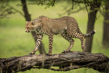 Cheetah Cub Walking Along Log Looking Down