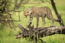 Cheetah Cub Walks Along Log Looking Down