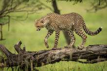 Cheetah Cub Walking On Log Looking Down