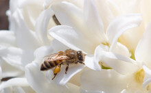 The Bee Collects Nectar From Spring Flowers. Sunny Weather Is A Great Time To Harvest Honey.