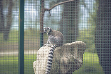 One Portrait Of A Lemur In A Cage.