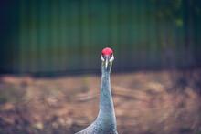 Sandhill Crane (Grus Canadensis) The Close Image Of Sarus Crane.