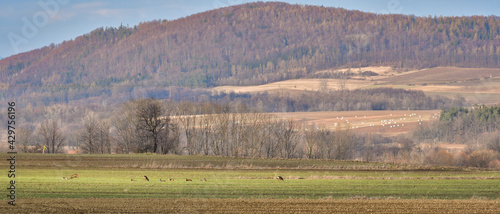A small herd of wild deer(Cervus elaphus) graze on a green hill.