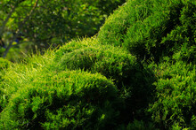 Cossack Juniper ( Lat. Juniperus Sabina). Shearing Of The Juniper With Gardening Scissors, Soft Focus. Garden Art, Design, Landscape. Topiary. Blurred Background With Juniper. Autumn Landscape.