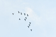 Wild Geese Fly South To Warmer Countries.
