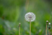 White Dandelion Seedhead